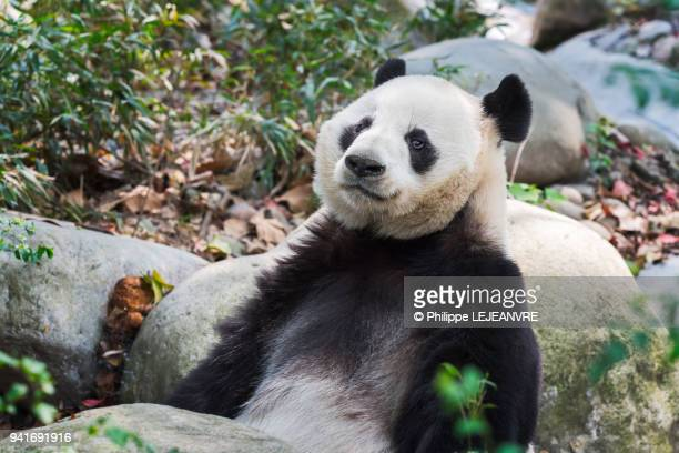 Giant panda lying on rocks in the forest