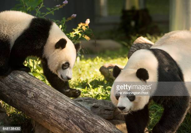 Giant panda Mei Xiang and her cub Bei Bei who is celebrating his first birthday at the Smithsonian National Zoo in Washington DC on August 20 2016...
