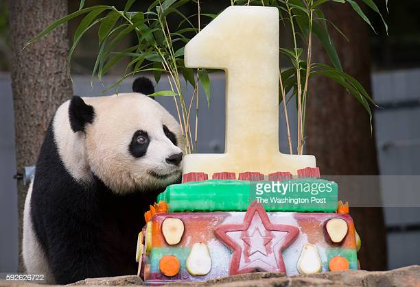 Giant panda Mei Xiang discovers a birthday cake meant for her cub Bei Bei who turns one at the Smithsonian National Zoo in Washington DC on August 20...
