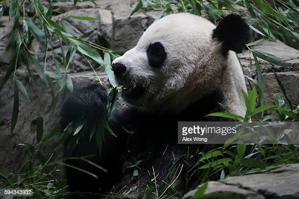 Giant panda Mei Xiang eats bamboo at the David M Rubenstein Family Giant Panda Habitat of the Smithsonian National Zoological Park August 22 2016 in...