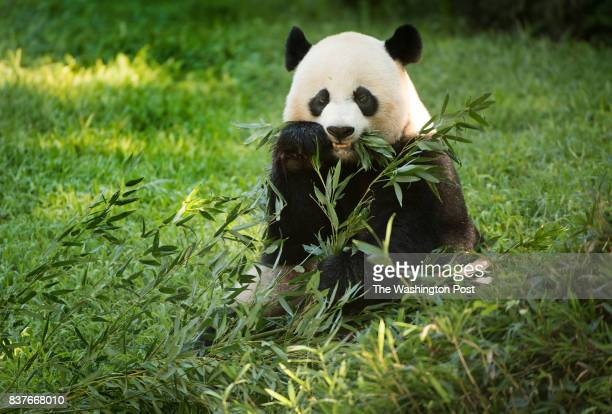 Giant panda Mei Xiang in her habitat as the zoo celebrates the first birthday of her cub Bei Bei at the Smithsonian National Zoo in Washington DC on...