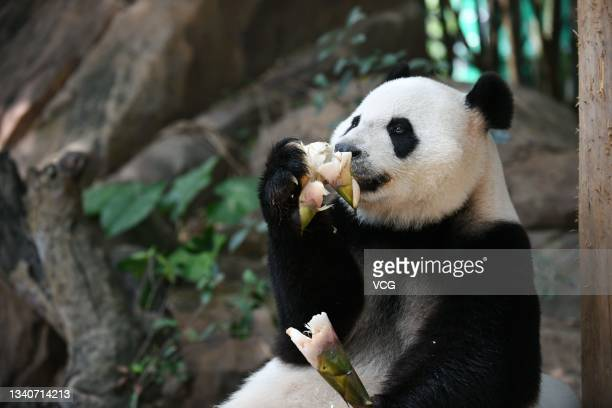 Giant Panda Mengmeng enjoys a mooncake at Chimelong Safari Park before the Mid-Autumn Festival on September 16, 2021 in Guangzhou, Guangdong Province...