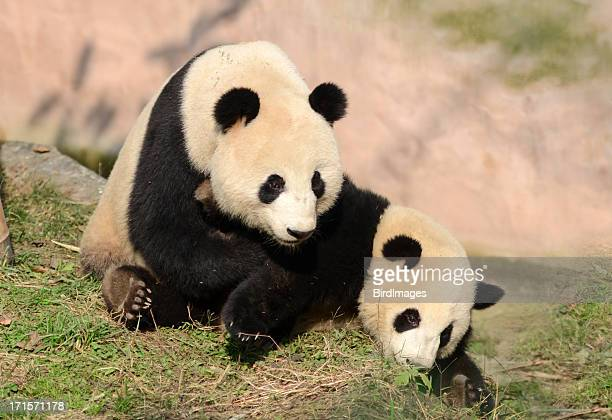 Panda gigante madre & Cub en juego-China