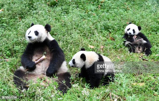Giant panda mother Haizi and its twin cubs play at the Dujiangyan Base of China Conservation and Research Center for Giant Pandas on June 19 2018 in...