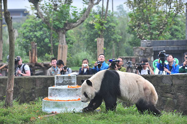 Giant Panda Celebrates Birthday In Dujiangyan