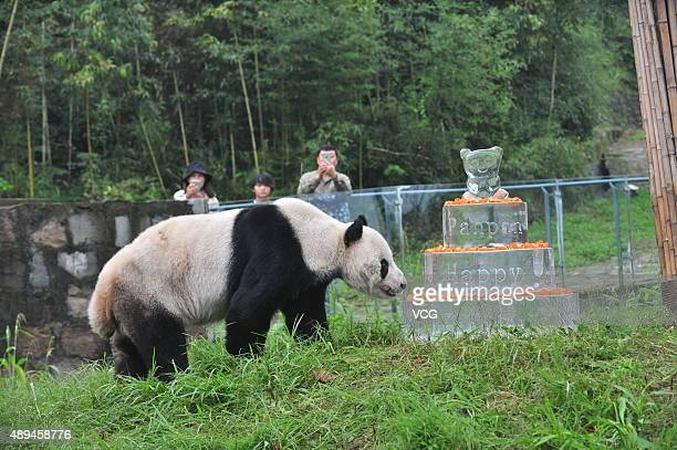 Giant panda Pan Pan walks near a frozen cake during its 30th birthday celebration at the China Conservation and Research Center for the Giant Panda...