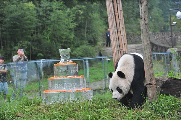 Giant Panda Pan Walks Near A Frozen Cake During Its 30th Birthday Celebration At The