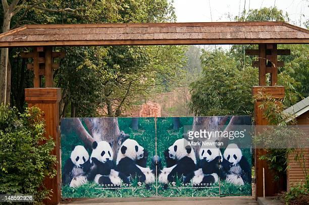 giant panda (ailuropoda melanoleuca), panda breeding and research centre. - animal behaviour stock pictures, royalty-free photos & images