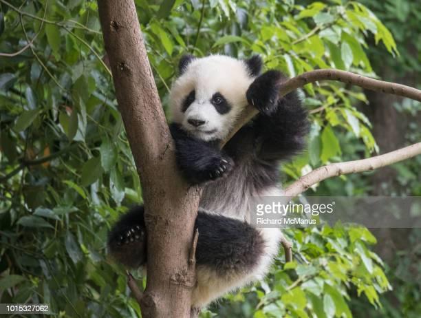 giant panda - panda photos et images de collection