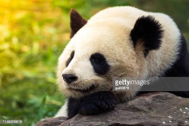 panda gigante - especies amenazadas fotografías e imágenes de stock