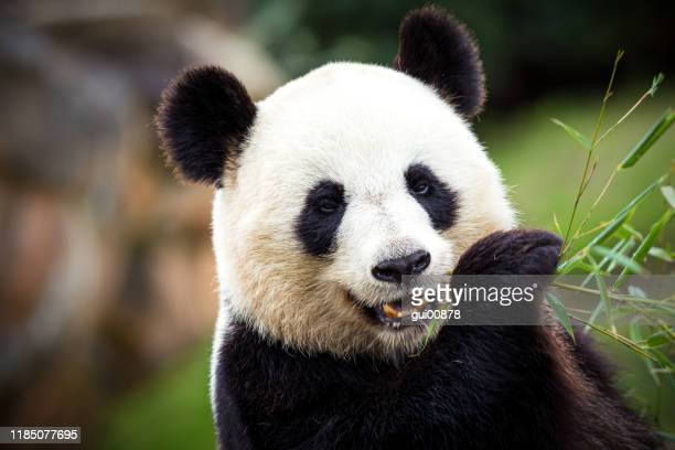 giant panda - panda animal stock pictures, royalty-free photos & images