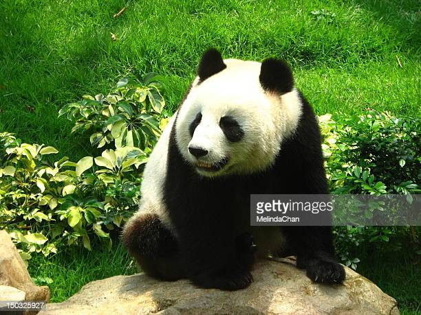 giant panda - giant panda stock photos and pictures