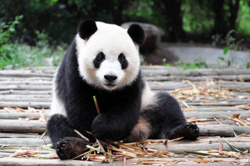 Giant Panda 176125199