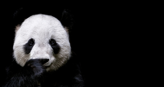 Giant Panda 483807166