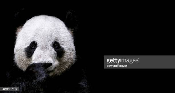 giant panda - rare stock pictures, royalty-free photos & images