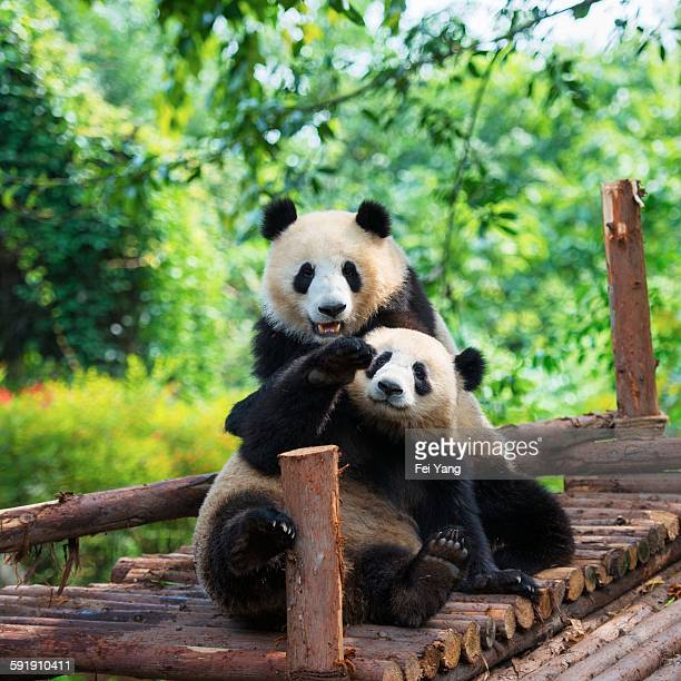 giant panda - giant panda stock pictures, royalty-free photos & images