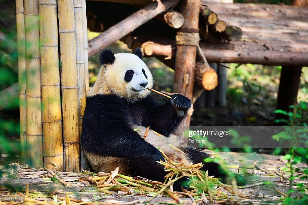 Giant panda : Stock Photo