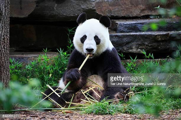 Giant Panda, (Ailuropoda melanoleuca)