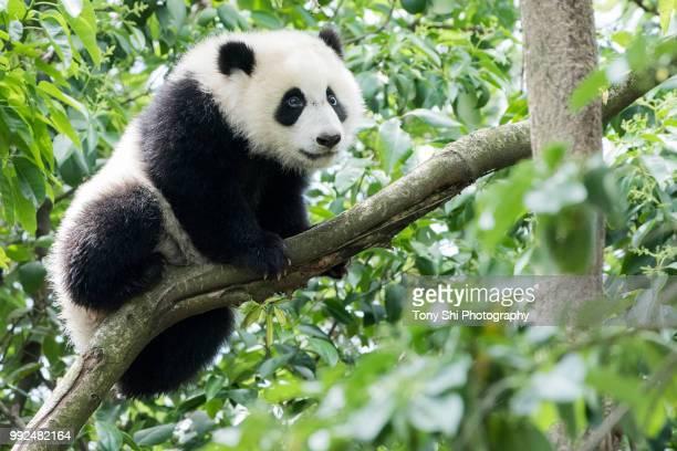 giant panda - 四川省 ストックフォトと画像