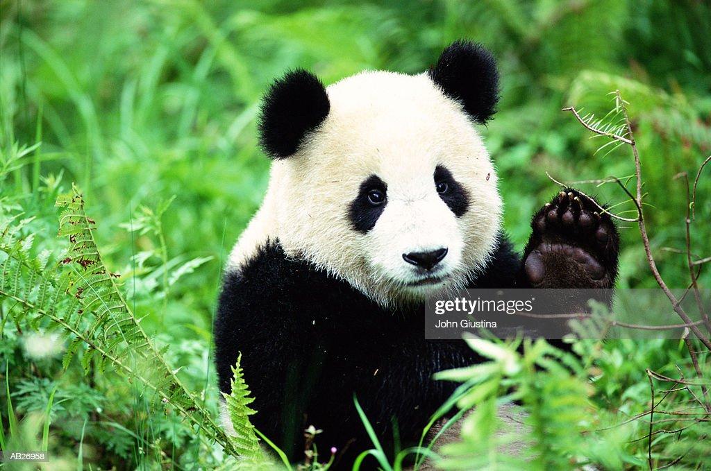 Giant Panda (Ailuropoda melanoleuca) : Stock Photo