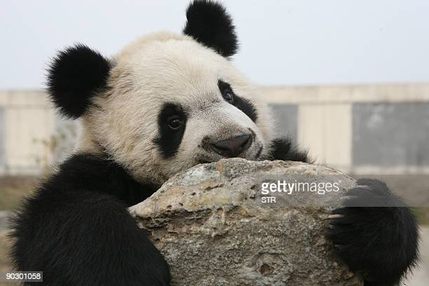 A Giant Panda plays at a zoo in Xian north China's Shaanxi province on August 15 2009 China's giant panda could be extinct in just two to three...