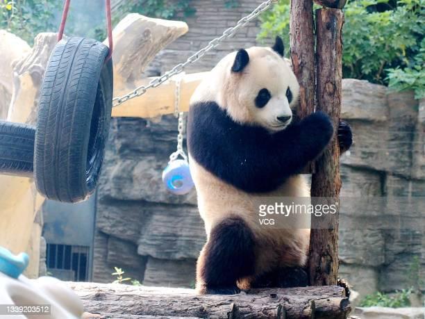 Giant panda plays at Beijing Zoo on September 8, 2021 in Beijing, China.