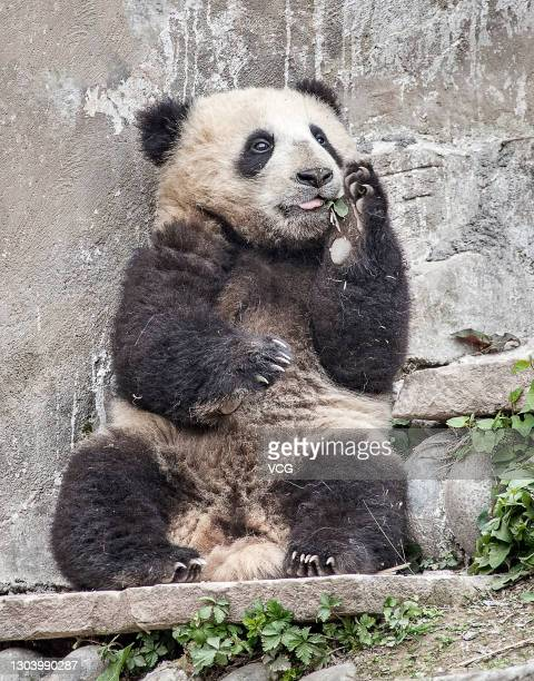 Giant panda plays at Bifeng Gorge Base of China Conservation and Research Center for Giant Pandas on February 24, 2021 in Ya'an, Sichuan Province of...