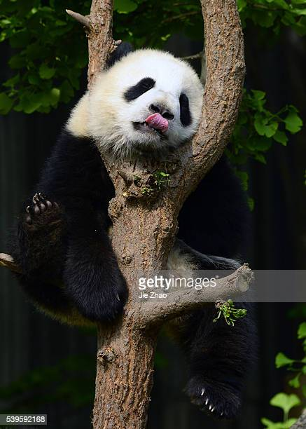 A Giant Panda plays at Chengdu Research Base of Giant Panda Breeding in Chengdu Sichuan China on 16th April 2015