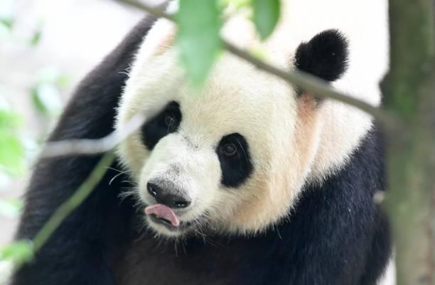 CHN: Giant Panda In Dujiangyan