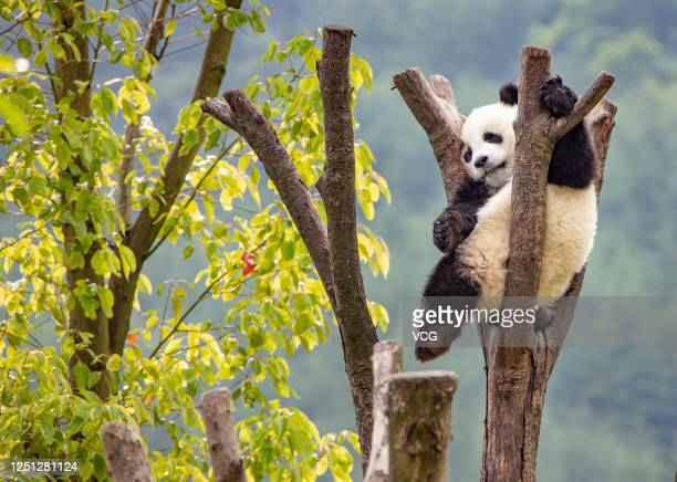 A giant panda plays at Shenshuping Panda Base of China Conservation and Research Center for the Giant Panda on June 9 2020 in Aba Tibetan and Qiang...