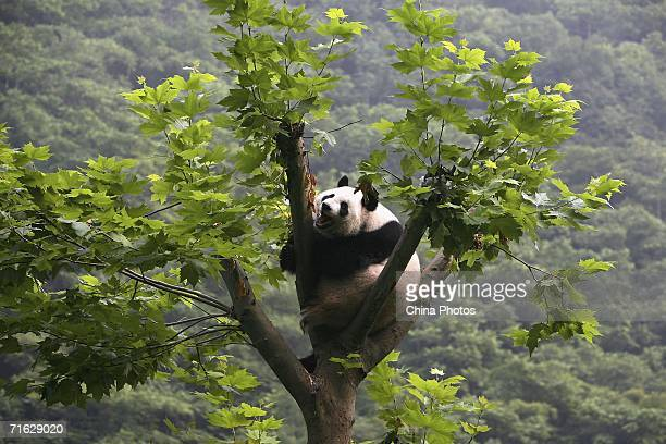 Giant panda plays in a tree at the China Wolong Giant Panda Protection and Research Centre on August 8, 2006 in Wolong Nature Reserve of Sichuan...