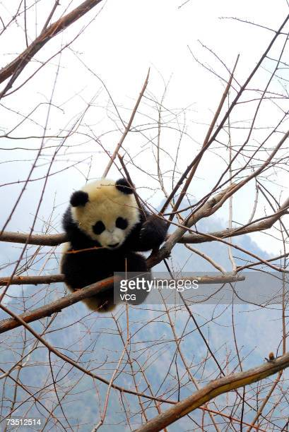 A giant panda plays in a tree at the Research and Conservation Center for Giant Panda in the Wolong Nature Reserve on March 6 2007 in southwest...