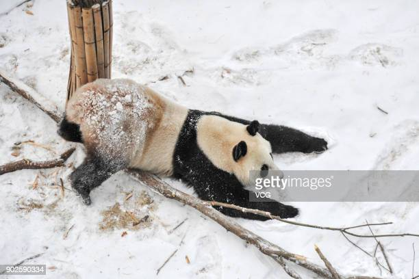 Giant Panda plays in the snow at Shenyang Forest Zoological Garden on January 8 2018 in Shenyang China