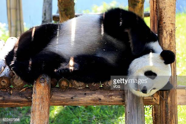 Giant panda plays in the Xiuning Panda Ecological Park on April 18, 2016 in Huangshan, Anhui Province of China.