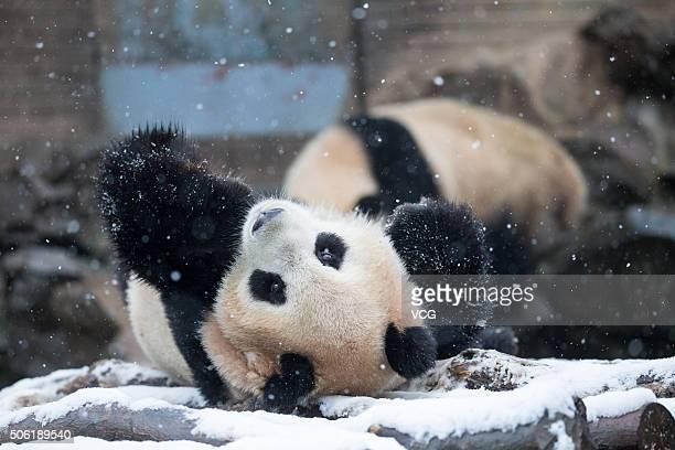 A giant panda plays on snow at Hangzhou Zoo on January 21 2016 in Hangzhou Zhejiang Province of China Heavy snow falls in south China's Zhejiang...
