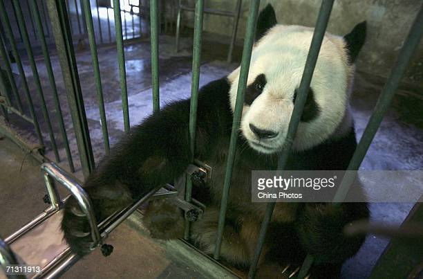 A giant panda prepares to have blood taken as a sample by vets at the China Giant Panda Protection and Research Centre home to about 80 artificially...