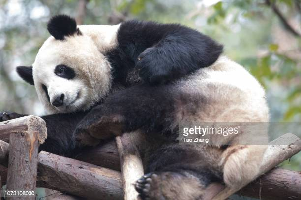 Giant panda relaxes at Chengdu Research Base of Giant Panda Breeding on December 14, 2018 in Chengdu, China.The research base is famous for the...