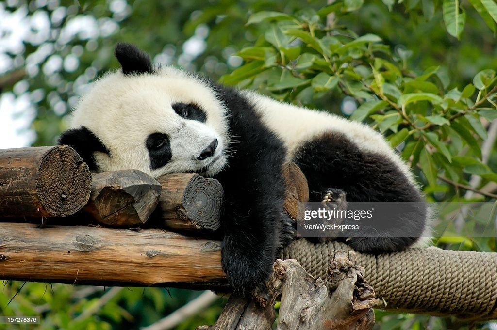 Giant Panda resting : Stock Photo