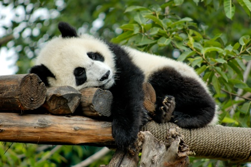 Giant Panda resting 157278376