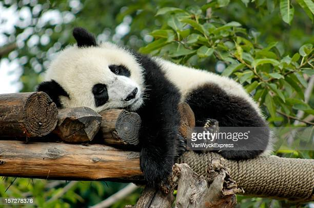 giant panda resting - panda animal stock photos and pictures