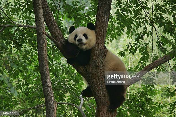 A giant panda rests in the branches of a tree at the Beijing Zoo on June 5 2012 in Beijing China With an estimated 1600 living in the wild the...