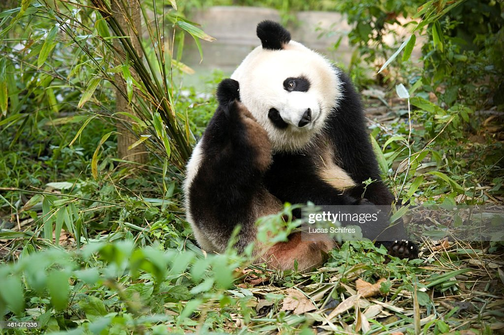Panda Breeding and Research Center : News Photo