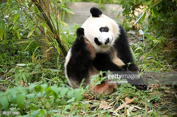 A giant panda scratches in the Panda Breeding and Research Center on September 12 2010 in Chengdu China