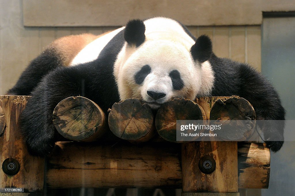 Giant Panda Shin Shin is seen at Ueno Zoo on July 2, 2013 in Tokyo, Japan. The zoo reopens the exhibition of the panda, that had shown signs of pregnancy, turned out to be a false pregnancy.
