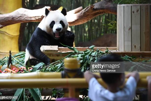 Giant Panda Shuaishuai enjoys a mooncake at Chimelong Safari Park before the Mid-Autumn Festival on September 16, 2021 in Guangzhou, Guangdong...