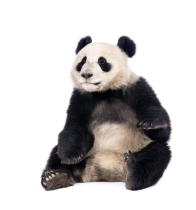 Giant Panda sitting in front of white background 95933964