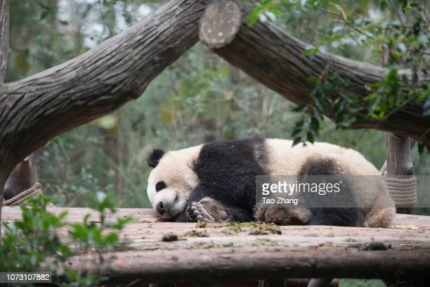 Giant panda sleeping at Chengdu Research Base of Giant Panda Breeding on December 14, 2018 in Chengdu, China.The research base is famous for the...