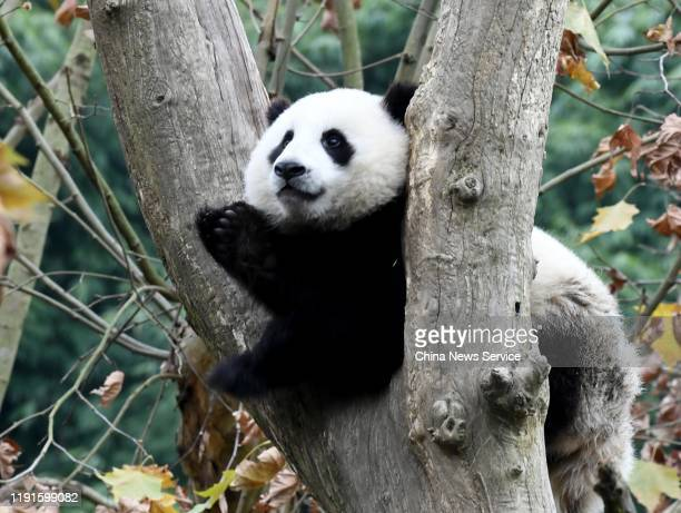 Giant panda stays on a tree at Dujiangyan Base of China Conservation and Research Center for Giant Panda on December 2, 2019 in Chengdu, Sichuan...