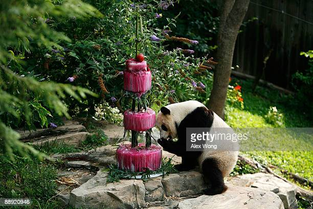 Giant panda Tai Shan checks out his birthday cake at the National Zoo July 9 2009 in Washington DC The zoo held an event to celebrate the panda�s...