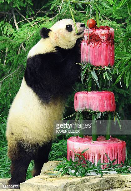 Giant panda Tai Shan finds an apple on top of his 'cake' during his 4th birthday celebration at the Smithsonian's National Zoo on July 9 2009 in...